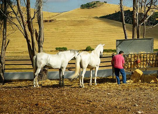 region_el_palmar_andalusier_pferde